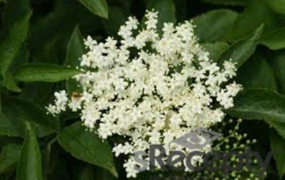 Kwiaty czarnego bzu